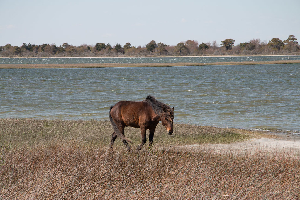 Horses at Assateague National Park