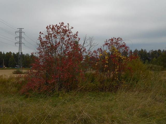 Niittynäkymiä syksyllä; ruskaiset tuomet heinien keskellä 15.9.2015 Espoo Leppäsilta