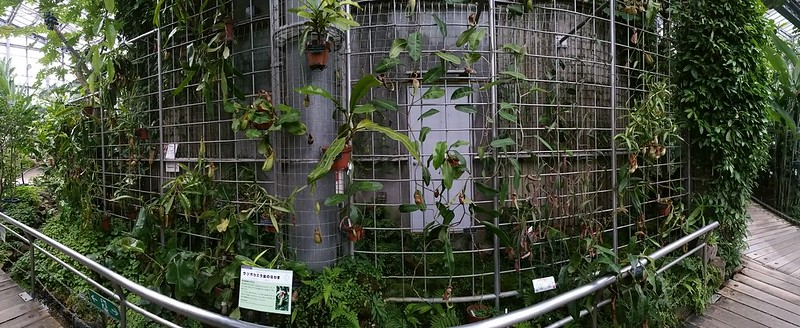 Nepenthes display