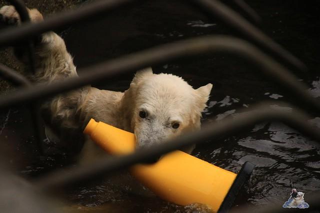 Eisbär Fiete im Zoo Rostock 17.10.2015  0188