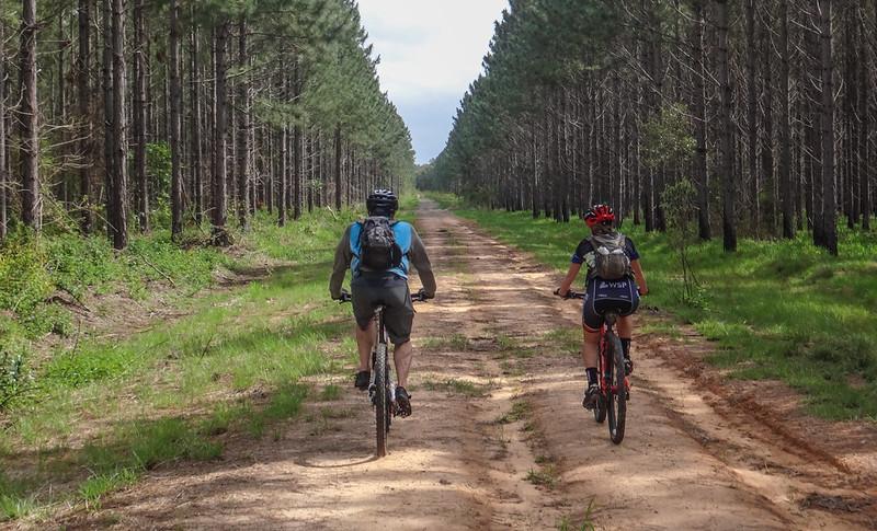 Pine Plantation Forest