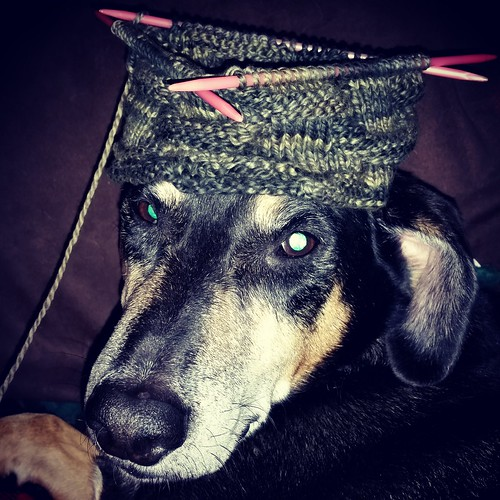Coonhound mix senior dog and knitting