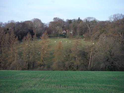 Sheep in Field, Herberts Hole