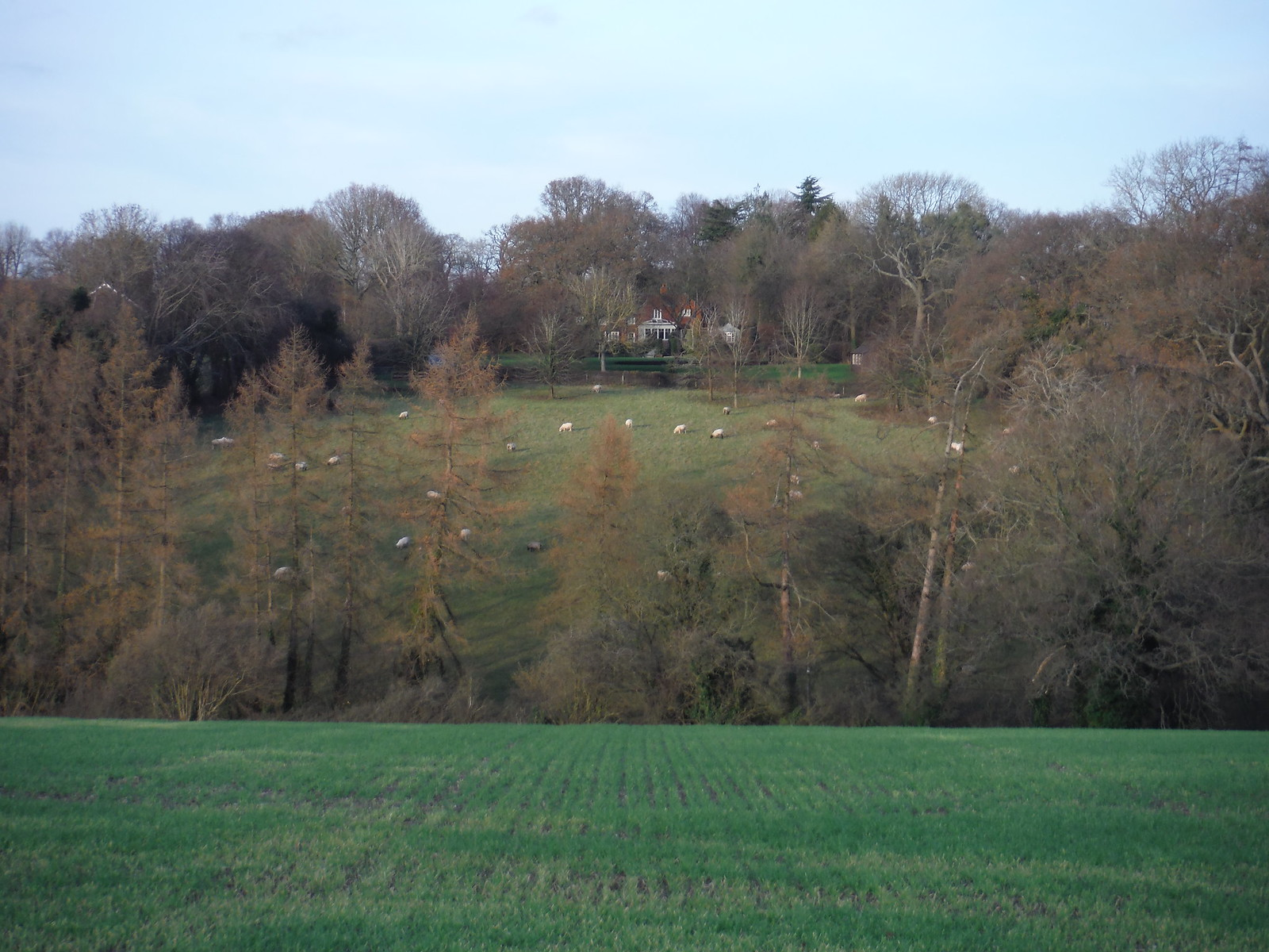 Sheep in Field, Herberts Hole SWC Walk 140a Wendover to Great Missenden
