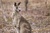 Kangaroo 2015-11-29 (_MG_4476)