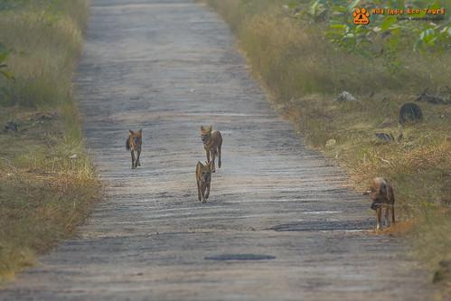 Wild Dogs (Dholes)