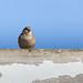 Barnyard Bird