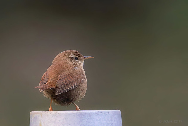 """"""" If that bus doesn't turn up in a minute I'll have to fly home ! """"  -  Wren  -  Troglodytes troglodytes"""