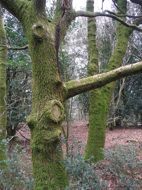 Gibbet Hill, Mossy Trees
