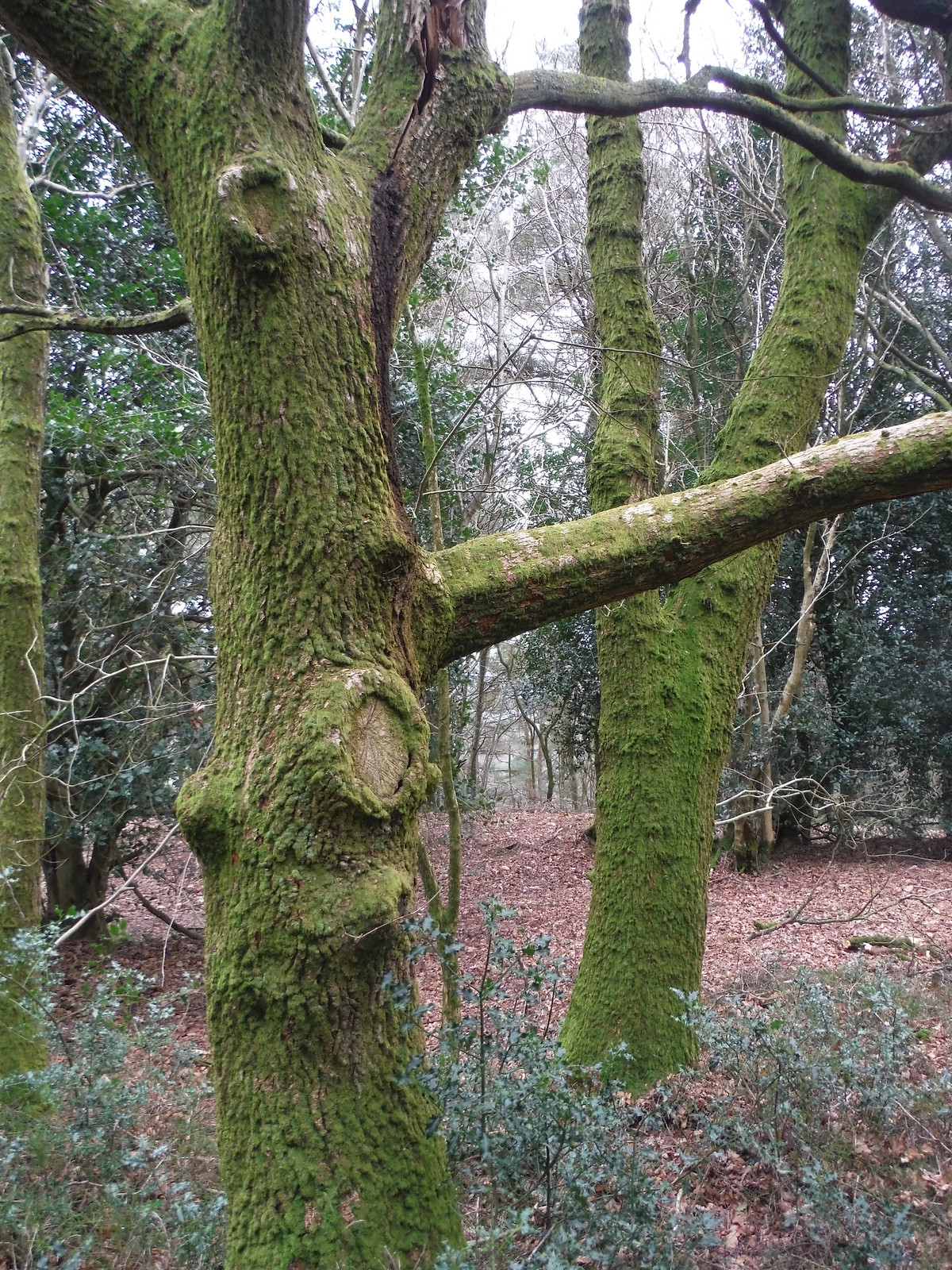 Gibbet Hill, Mossy Trees SWC Walk 144 Haslemere to Farnham