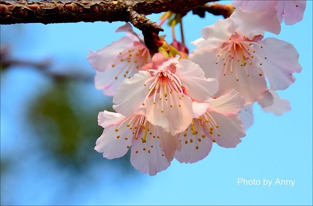 麗池櫻花52