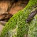 Hydromantes sp. (Species B) by Marisa.Ishimatsu