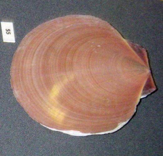 Amusium pleuronectes 20718273752_3ba6c38c4c_o