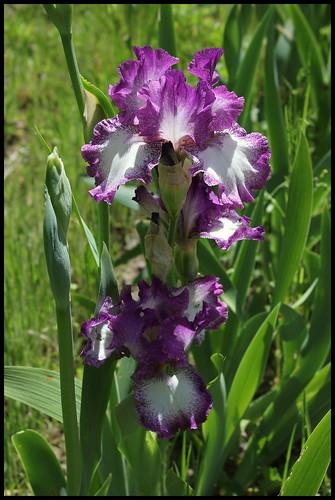 Iris Mariposa Autumn (1)