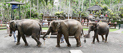 animal, indian elephant, elephant, elephants and mammoths, herd, fauna, mahout,
