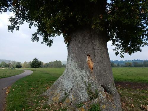 Big tree, Hambleden