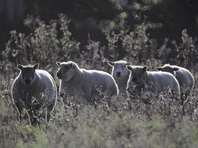 Backlit sheep