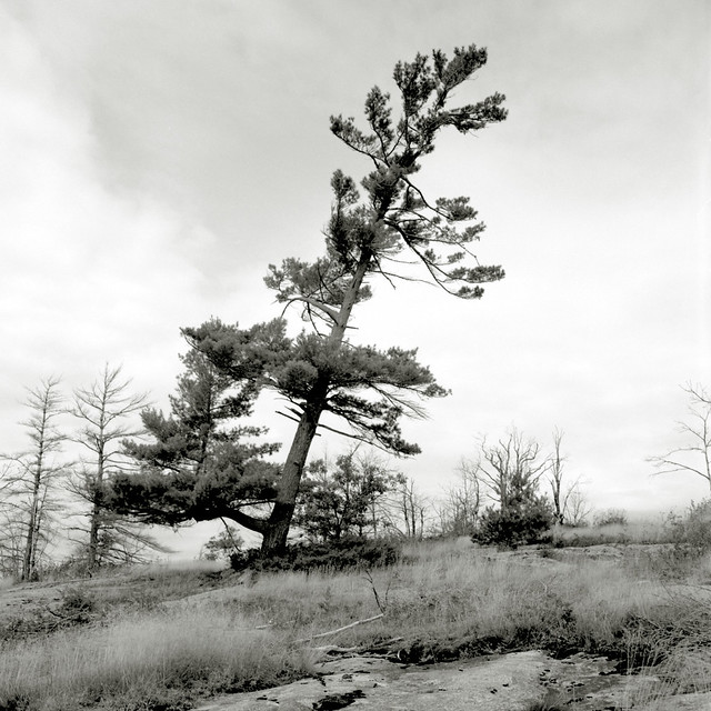 Leaning Pine
