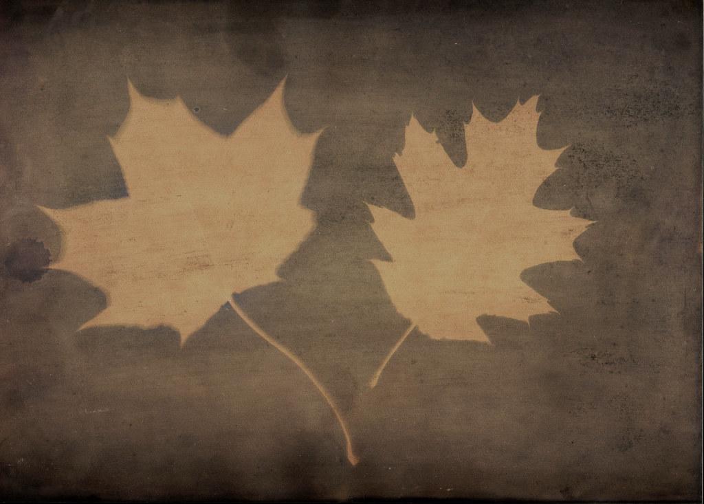 Eichenblatt und Ahornblatt auf Rotweinpapier