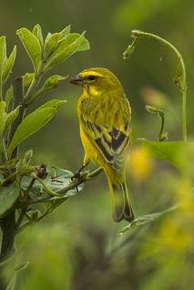 Brimstone Canary - Uganda_H8O4066