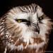Portrait of a Saw-whet owl in hand (detail) by Steven David Johnson