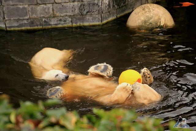 Eisbär Fiete im Zoo Rostock 05.12.2015  54