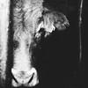 Kuh Portrait in Schwarz/Weiss by Dominic Eltjes