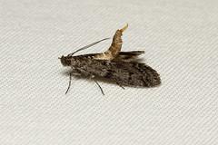 Pyralidae sp - Everett WA