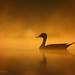 The Golden Puff by Awais Ali Sheikh
