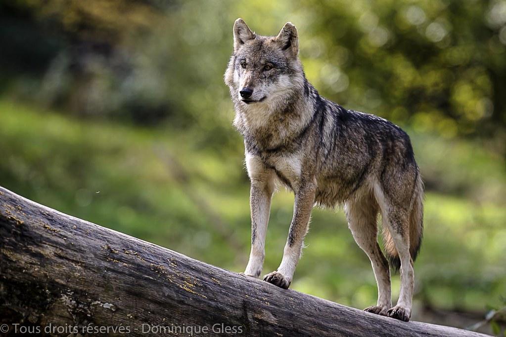 Loup gris d'Europe - European wolf
