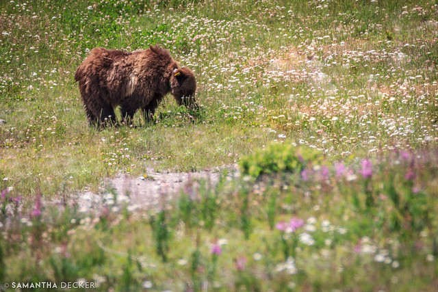 Grizzly Bear Having a Snack