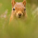 Red Squirrel - Inquisitive by crittersnapper
