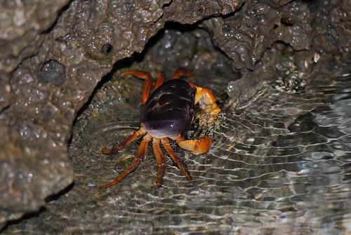 抱卵毛足圓軸蟹準備釋幼。墾丁國家公園管理處提供。