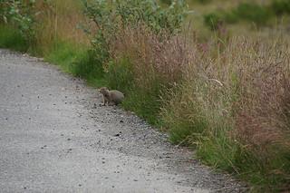 023 Arctische grondeekhoorn