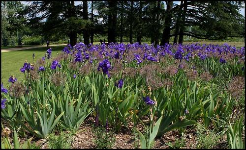 Associer nos iris à d'autres plantes pour de beaux massifs 21565099544_0763b8e9f6