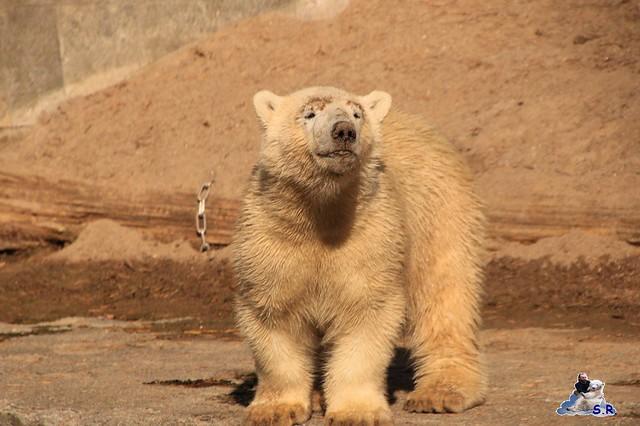 Eisbär Fiete im Zoo Rostock 26.09.2015   0329