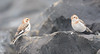 Snow bunting by Wanderer105 (Christine Cassidy )