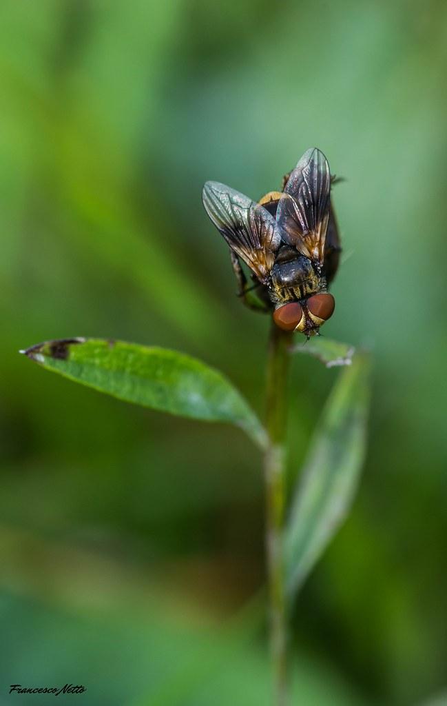 Ectophasia crassipennis (Fabricius, 1794)