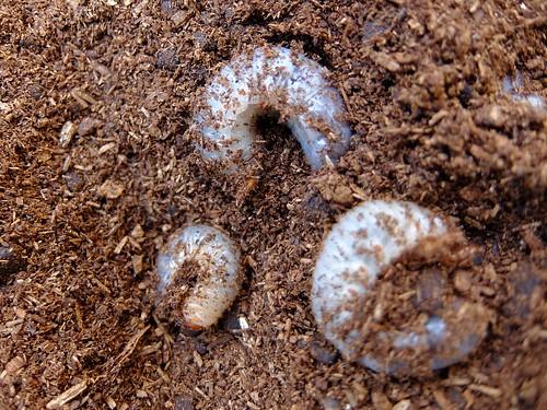 カブトムシの幼虫2
