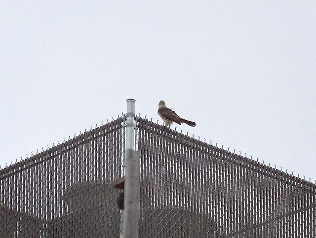 Cooper's hawk after sunset on Ave A