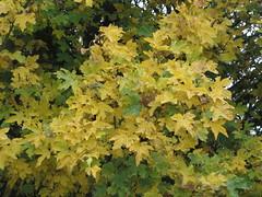 Autumnal Sycamore Foliage