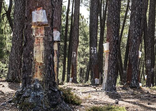 Vales trees