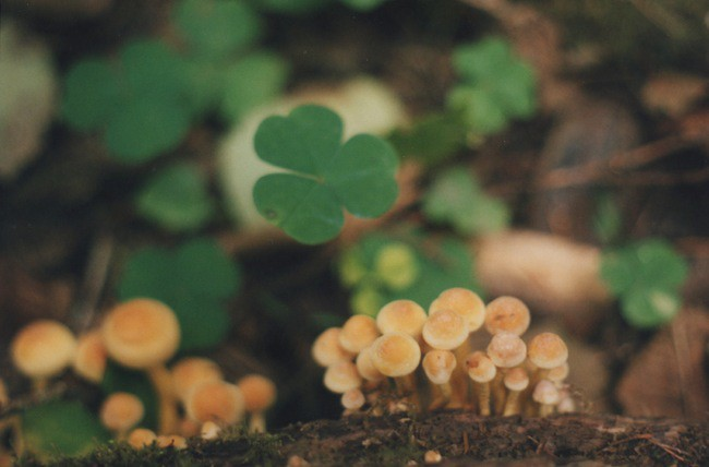 Hypholoma fasciculare 7, Silver Falls State Park 2015