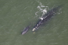 New Years Day Brings First Right Whale Calf