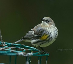 Yellow-rumped Warbler (Myrtle intergrade)