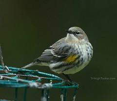 Yellow-rumped Warbler (Myrtle intergrade)