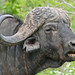 Small photo of African Buffalo (Syncerus caffer) bull
