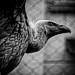 """Cage The """"Vultures"""" by Alfred Grupstra"""