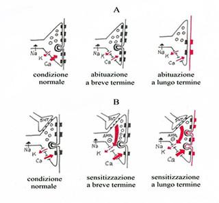 Schema delle modificazioni che si osservano, a livello di una sinapsi tra i neuroni sensitivi ed i motoneuroni di Aplysia