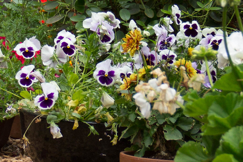 Birthday Pansies_